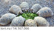 Маленькие черепашки едят нарезанную зелень. Стоковое фото, фотограф Михаил Коханчиков / Фотобанк Лори