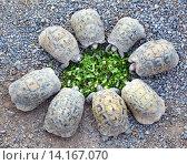 Маленькие черепахи едят зеленый салат. Стоковое фото, фотограф Михаил Коханчиков / Фотобанк Лори