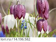 Купить «common fritillary, snake's-head fritillaria (Fritillaria meleagris), white and lilac flowers, Germany», фото № 14196582, снято 20 ноября 2018 г. (c) age Fotostock / Фотобанк Лори