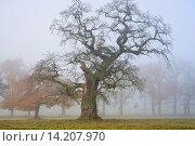 Купить «common oak, pedunculate oak, English oak (Quercus robur), old oaks in mist, Germany, Hesse, Beberbeck», фото № 14207970, снято 3 апреля 2020 г. (c) age Fotostock / Фотобанк Лори