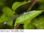common ischnura, blue-tailed damselfly (Ischnura elegans), sitting on a leaf, Germany. Стоковое фото, фотограф F. Hecker / age Fotostock / Фотобанк Лори
