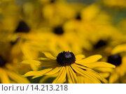 Купить «Headline: Yellow coneflower», фото № 14213218, снято 9 июля 2020 г. (c) age Fotostock / Фотобанк Лори