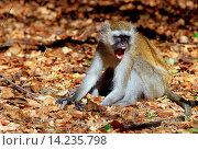 Купить «Vervet monkey displaying aggression, Zimbabwe, Africa», фото № 14235798, снято 24 июля 2019 г. (c) age Fotostock / Фотобанк Лори