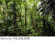 Купить «Trees and ferns in Daintree Rainforest, Australia», фото № 14236838, снято 10 апреля 2020 г. (c) age Fotostock / Фотобанк Лори