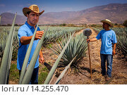 Купить «Harvesting Agave (Jima).plantation of blue Agave in Rancho `El Coyote´, Penjamo, Guanajuato, Mexico.», фото № 14255470, снято 25 января 2020 г. (c) age Fotostock / Фотобанк Лори