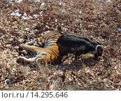 Дружба амурского тигра и козла, Шкотово, Дальний восток. Стоковое фото, фотограф Овчинникова Ирина / Фотобанк Лори