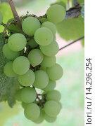 Растущий виноград. Стоковое фото, фотограф Ирина Мандровская / Фотобанк Лори