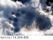 Купить «brown bear, grizzly bear, grizzly (Ursus arctos horribilis), imprint of a paw in the snow, USA, Alaska, Chilkat bald eagles preserve, Haines», фото № 14304406, снято 22 февраля 2019 г. (c) age Fotostock / Фотобанк Лори