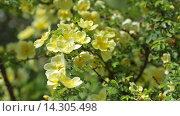 Купить «White roses plant in garden», видеоролик № 14305498, снято 23 мая 2015 г. (c) Яков Филимонов / Фотобанк Лори