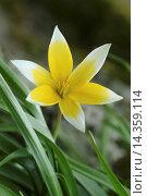 Купить «Tarda tulip, Tulipa tarda / Tarda-Tulpe, Tulipa tarda», фото № 14359114, снято 14 апреля 2004 г. (c) age Fotostock / Фотобанк Лори