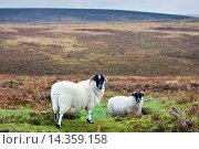 Купить «Blackfaced sheep in Dartmoor countryside, Devon, United Kingdom», фото № 14359158, снято 21 августа 2019 г. (c) age Fotostock / Фотобанк Лори