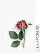 Купить «Red Rose flower lying on snow covered surface with frost.», фото № 14368934, снято 19 сентября 2019 г. (c) age Fotostock / Фотобанк Лори