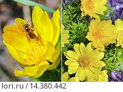 Адонис весенний (Adonis vernalis). Группа цветущих растений и одиночный цветок крупным планом. Стоковое фото, фотограф Евгений Мухортов / Фотобанк Лори