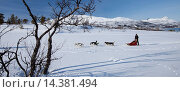 Купить «Alaskan Huskies dog-sledding at Villmarkssenter wilderness centre on Kvaloya Island, Tromso in Arctic Circle Northern Norway», фото № 14381494, снято 21 октября 2018 г. (c) age Fotostock / Фотобанк Лори