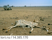 Купить «Drought in Burkina Faso (formerly Upper Volta). A white Land Rover 4-wheel drive vehicle drives past a dried out carcass.», фото № 14385170, снято 7 июня 2020 г. (c) age Fotostock / Фотобанк Лори