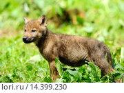Купить «Close-up of a Eurasian wolf (Canis lupus lupus) cub in a forest», фото № 14399230, снято 23 января 2014 г. (c) age Fotostock / Фотобанк Лори