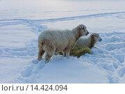 Купить «Sheep with hay in deep snow in the village of Swinbrook, The Cotswolds, UK», фото № 14424094, снято 21 октября 2018 г. (c) age Fotostock / Фотобанк Лори