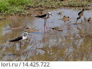 Купить «Black Winged Stilts, Himantopus himantopus, in water hole at Kutalpura Village in Rajasthan, Northern India», фото № 14425722, снято 16 февраля 2019 г. (c) age Fotostock / Фотобанк Лори