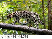 Купить «Tiger Cat or Oncille, leopardus tigrinus.», фото № 14444394, снято 18 сентября 2007 г. (c) age Fotostock / Фотобанк Лори
