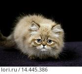 Купить «Colourpoint Persian Domestic Cat, Kitten standing against Black Background.», фото № 14445386, снято 14 декабря 2019 г. (c) age Fotostock / Фотобанк Лори