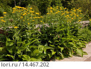 Купить «Elecampane (Inula helenium) introduced naturalised species, flowering, growing alongside old wall, Dorset, England, July», фото № 14467202, снято 21 февраля 2019 г. (c) age Fotostock / Фотобанк Лори
