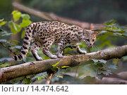 Купить «Tiger Cat or Oncilla, leopardus tigrinus.», фото № 14474642, снято 21 января 2020 г. (c) age Fotostock / Фотобанк Лори