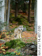 Купить «Eurasian wolf (Canis lupus lupus) in the Bavarian Forest, Germany», фото № 14487030, снято 23 апреля 2019 г. (c) age Fotostock / Фотобанк Лори