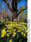 Daffodils in Cannizaro Park, Wimbledon, London, UK. Стоковое фото, фотограф Bjanka Kadic / age Fotostock / Фотобанк Лори