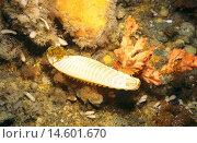 Купить «Australian swellshark (Cephaloscyllium laticeps), egg case attached to a sponge in a sea cave. Waterfall Bay, Tasmania, Australia», фото № 14601670, снято 7 июля 2020 г. (c) age Fotostock / Фотобанк Лори