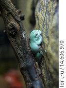 Купить «Австралийская квакша (Litoria caerulea)», фото № 14606970, снято 8 ноября 2015 г. (c) Литвяк Игорь / Фотобанк Лори