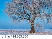Купить «Oak in winter, Vechta district, Niedersachsen, Germany / Eiche im Winter, Landkreis Vechta, Niedersachsen, Deutschland», фото № 14665330, снято 25 января 2013 г. (c) age Fotostock / Фотобанк Лори