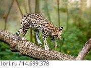 Купить «Tiger Cat or Oncilla, leopardus tigrinus, walking on branch.», фото № 14699378, снято 18 сентября 2007 г. (c) age Fotostock / Фотобанк Лори