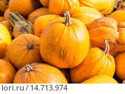 Купить «Урожай тыквы», фото № 14713974, снято 4 октября 2015 г. (c) Сергей Лаврентьев / Фотобанк Лори