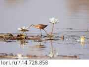 Купить «African Jacana (Actophilornis africanus) juvenile, walking across waterlily leaves, Gambia, February», фото № 14728858, снято 23 марта 2019 г. (c) age Fotostock / Фотобанк Лори