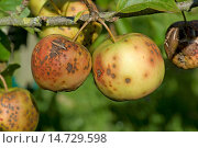 Купить «Golden delicious apples severely affected by apple scab, Venturia inaequalis», фото № 14729598, снято 20 ноября 2018 г. (c) age Fotostock / Фотобанк Лори