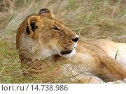 Купить «AFRICAN LION panthera leo IN MASAI MARA NP IN KENYA.», фото № 14738986, снято 25 июля 2005 г. (c) age Fotostock / Фотобанк Лори