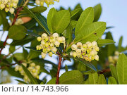 Купить «killarney strawberry tree (Arbutus unedo), flowering», фото № 14743966, снято 14 октября 2012 г. (c) age Fotostock / Фотобанк Лори