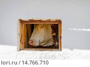 domestic cattle (Bos primigenius f. taurus), with cowbell, looking through a stable window, Germany. Стоковое фото, фотограф A. Hartl / age Fotostock / Фотобанк Лори