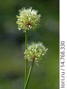 Купить «Long-rooted garlic, Victory Onion (Allium victorialis), inflorescences, Germany», фото № 14768330, снято 10 июля 2012 г. (c) age Fotostock / Фотобанк Лори