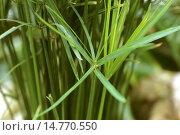 Slimjim Flatsedge (Cyperus gracilis) Стоковое фото, фотограф R. Koenig / age Fotostock / Фотобанк Лори
