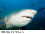 bull shark (Carcharhinus leucas), portrait, Fiji, Viti Levu, Beqa Lagoon. Стоковое фото, фотограф R. Dirscherl / age Fotostock / Фотобанк Лори