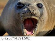 Купить «southern elephant seal (Mirounga leonina), with opened mouth at a beach, Falkland Islands», фото № 14791502, снято 2 января 2006 г. (c) age Fotostock / Фотобанк Лори