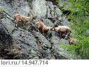 Купить «Capricorn, Ibex, mountain nanny goat, cloven-hoofed animal, horns, Bovidae, Boviden, Capra ibex, mountains, animals, wild animals, Germany», фото № 14947714, снято 19 января 2020 г. (c) age Fotostock / Фотобанк Лори