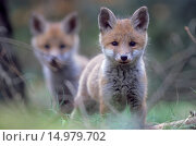 Rotfuchswelpen beobachten gespannt den Fotografen in der Naehe des Baus - (Rotfuchs - Fuchs) / Red Fox kits observing intently the photographer near the den - (European Red Fox) / Vulpes vulpes. Стоковое фото, фотограф Zoonar/Helge Schulz / age Fotostock / Фотобанк Лори