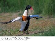 Купить «Brandgans - Ganter schlaegt mit den Fluegeln - (Brandente) / Common Shelduck gander clapping the wings - (Shelduck) / Tadorna tadorna», фото № 15006194, снято 23 июля 2019 г. (c) age Fotostock / Фотобанк Лори