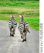 Купить «Burchell´s zebra, Equus burchelli. Zebras have shiny coats that dissipate over 70 percent of incoming heat.The black and white stripes are a form of camouflage...», фото № 15020058, снято 26 июня 2012 г. (c) age Fotostock / Фотобанк Лори