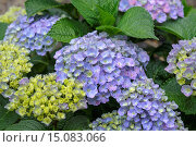 Garden hydrangea, Lace cap hydrangea (Hydrangea macrophylla 'Forever and ever Blue', Hydrangea macrophylla Forever and ever Blue), cultivar Forever and ever Blue, Germany, Saxony, Laussnitz. Стоковое фото, фотограф McPHOTO/H.-R. Mueller / age Fotostock / Фотобанк Лори