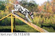 Собака породы далматинец на учебной площадке. Стоковое фото, фотограф Sergey Fatin / Фотобанк Лори