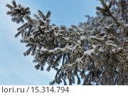 Купить «Заснеженная еловая ветка на фоне неба. Зимний природный фон. Текстура хвои, покрытой изморозью», фото № 15314794, снято 9 декабря 2015 г. (c) Виктория Катьянова / Фотобанк Лори