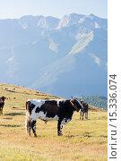 Купить «Быки (коровы) пасутся на высокогорном (альпийском) лугу на Северном Кавказе на фоне высоких гор», эксклюзивное фото № 15336074, снято 9 августа 2015 г. (c) Алексей Бок / Фотобанк Лори
